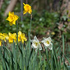 Daffodils at Northwood Halt