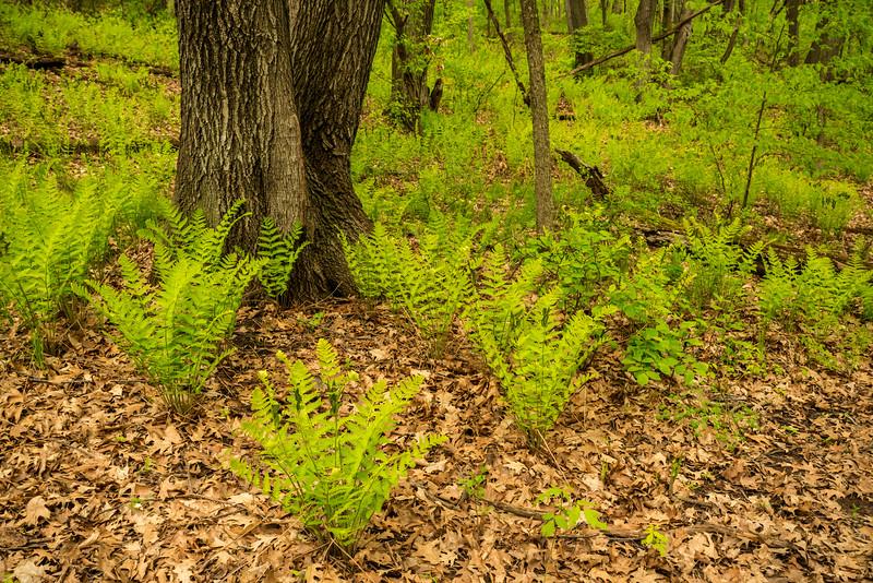Ostrich Ferns around old Maple Tree