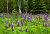 NWB-13-78: Wild Lupine on the North Shore