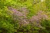 NWB-12016: Redbuds at the Minnesota Landscape Arboretum