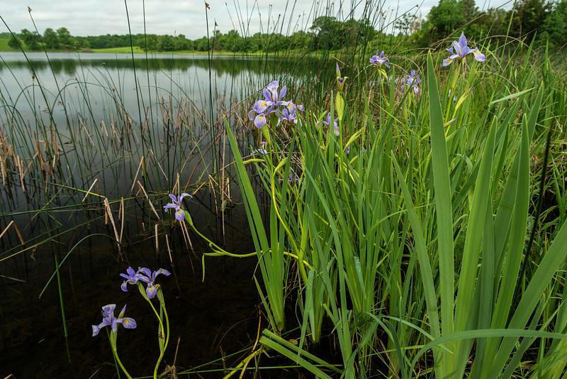 Blueflag Iris at Prairie Lake