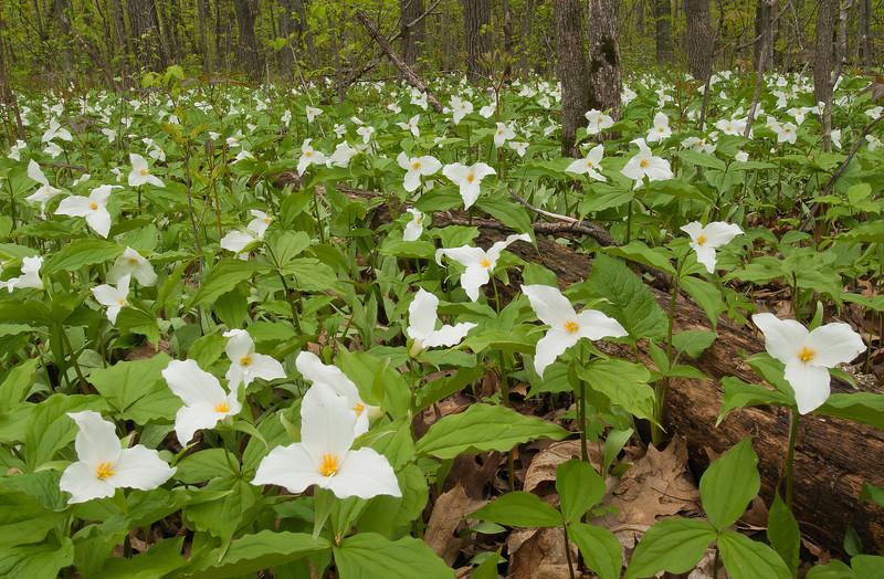 NWB-12025-2: Large-flowered Trillium in habitat
