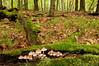 NWB-10040: Common Mycena mushrooms environmental