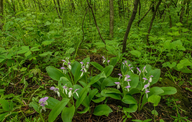 Showy Orchis environmental