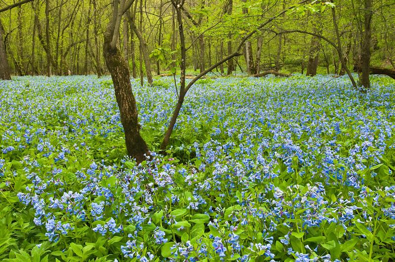 FVB-9004: Virginia Bluebells in habitat