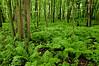 NWB-10017: Forest Ferns