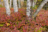 NWB-9008: Birch and Barberry leaves