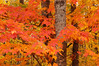 5011 Maple Leaves: While driving the back roads in NE Minnesota these colorful fall Maple Leaves caught my eye.