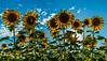 Star burst through the sunflowers