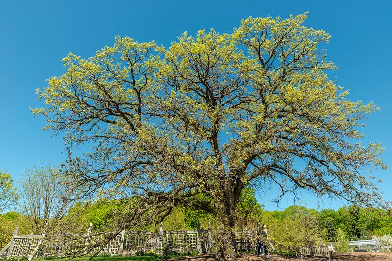 Maple Tree at the Arboretum