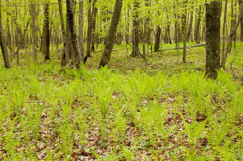 NWB-12027-2: Ferns at Father Hennepin State Park