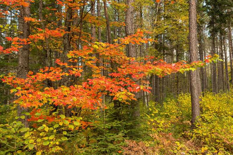 Maple color in pine forest