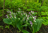 Showy Orchis cluster in the Northwoods
