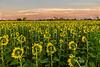 Backside of sunflowers