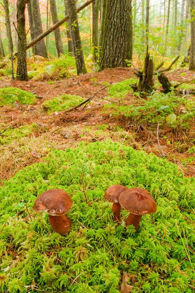NWM-10033: Bolete Mushrooms in habitat