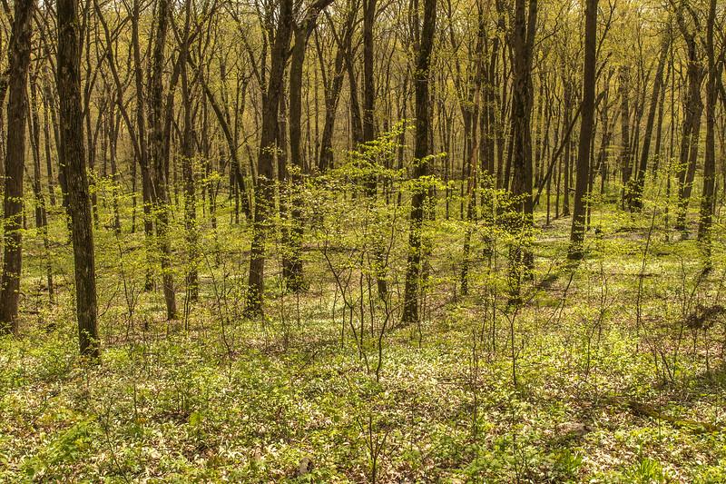 Big Woods spring green-up
