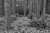 NWB-13-69: Red Pine forest in B & W