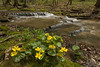 7017-Marsh Marigolds and stream-Photographed in Rice County.