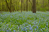 9002 Virginia Bluebells: Carley St. Pk. one of the greatest places to photograph Virginia Bluebells the forest floors is covered in blue.