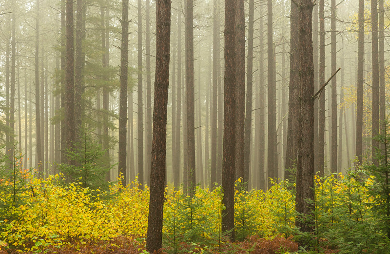 Honeymoon trail pine forest