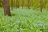NWB-10004: Bluebells in SE Minnesota (Mertensia virginica)