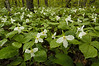 5006 Trillium Habitat: Banning St. Pk. is one of my favorite places to photograph Large-Flowered Trillium. The overcast day with a mist falling was perfect conditions for this photographer.