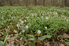 7016-Trout Lily habitat-Photographed at Sakatha St. Pk. in Rice County.