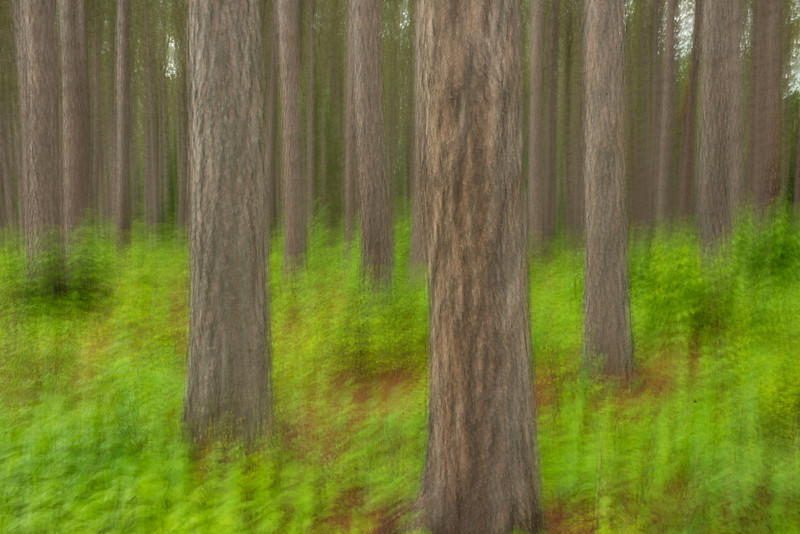 NWB-13-74: Red Pines in motion