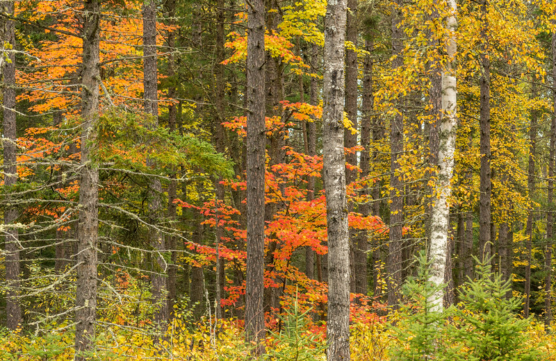 Maples in Pine Forest
