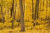 Golden Sugar Maples