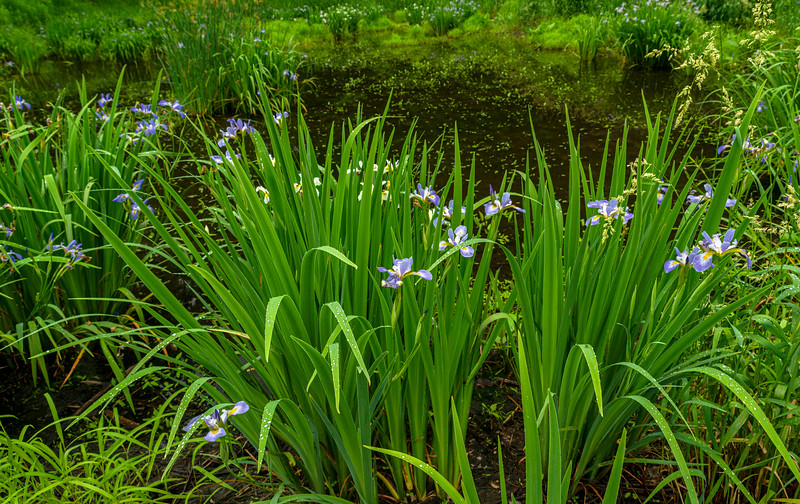 Blue Flag Iris in wetland