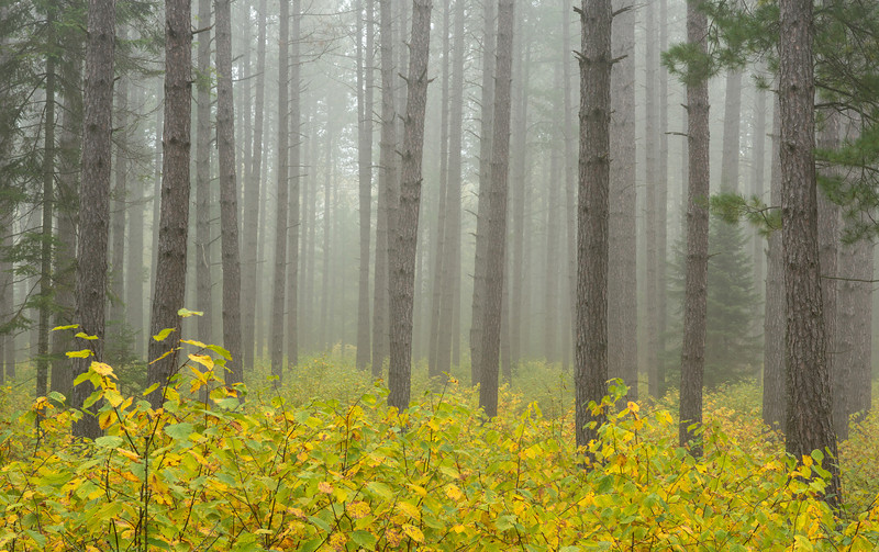 Morning fog in Red Pine forest