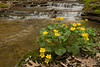 7011-Marsh Marigolds and stream-Photographed in Rice County, I like to visit this area every spring.