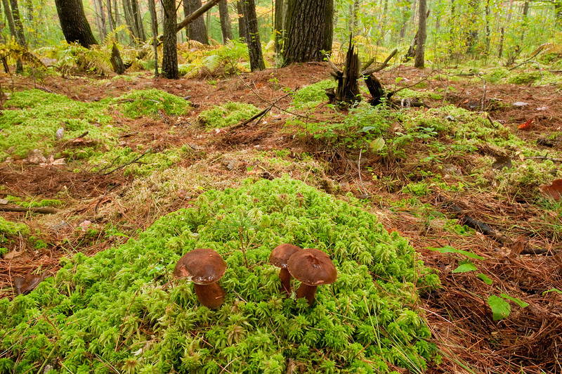 NWB-10036: Bolete mushrooms in Tamarack bog