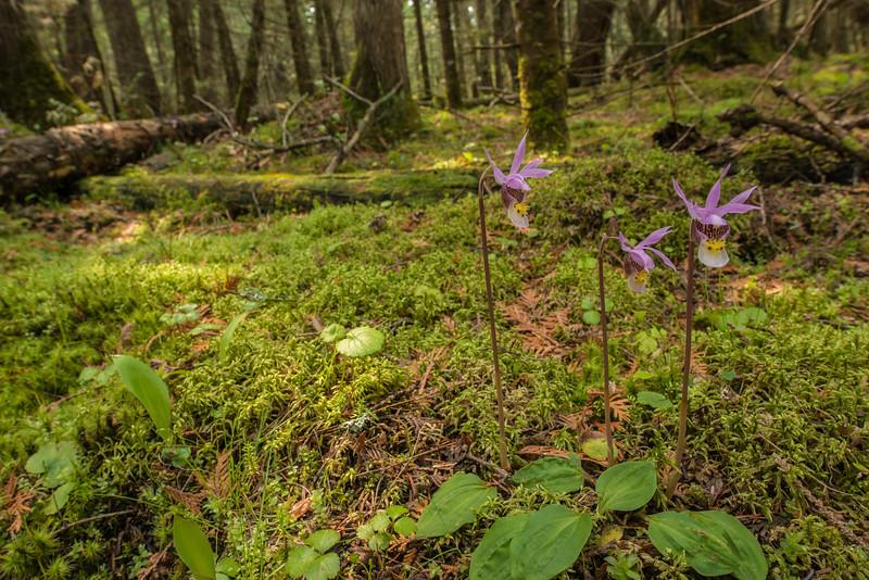 Calypso orchid trio in environment