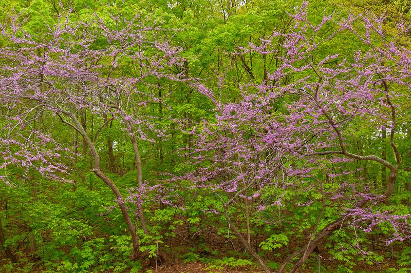 NWB-12015: Redbuds in Bloom