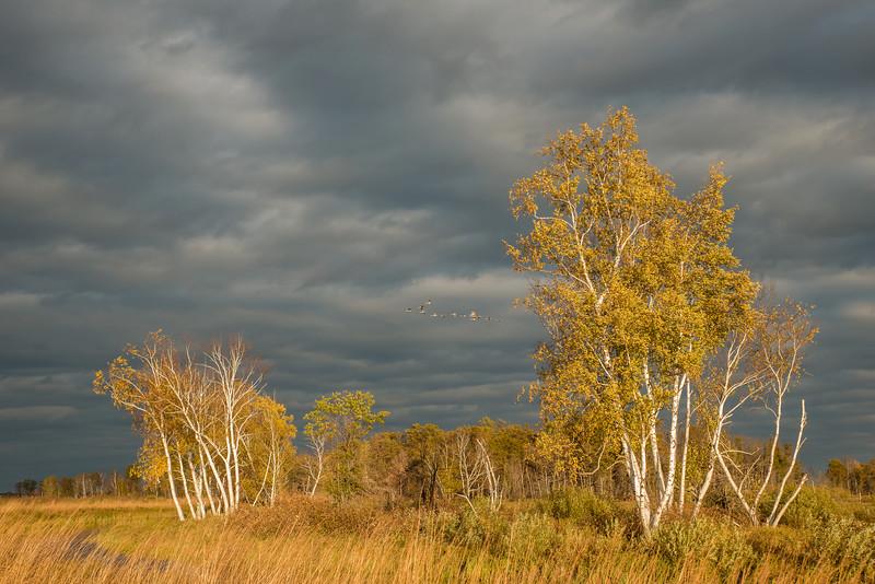 October migration of Sandhill Cranes