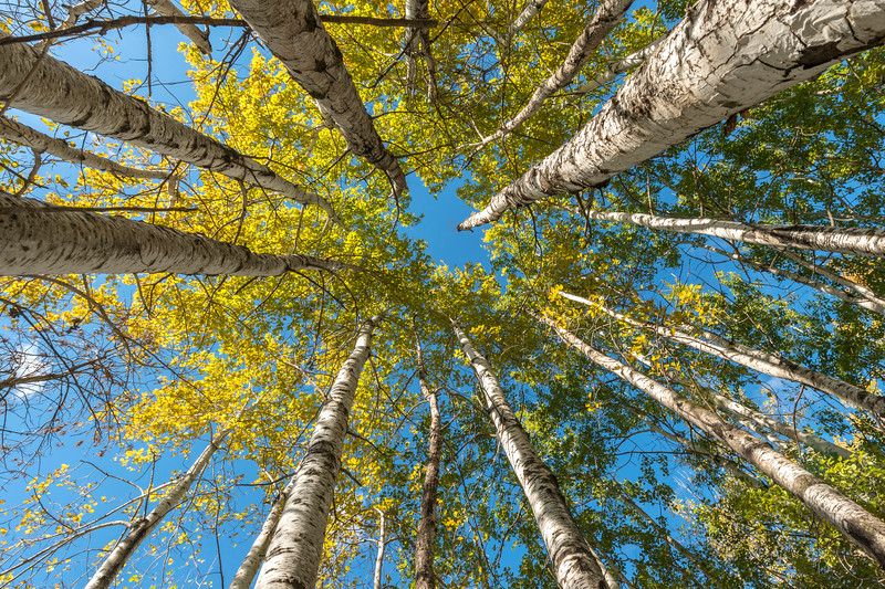 Aspens reaching for the sky