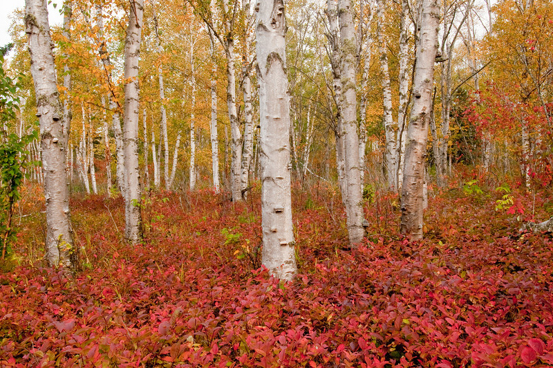 NWB-9010: Northern Birch forest in late September