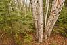 NWB-11020: Paper Birch