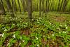 Forest floor covered in Trillium