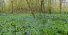 Bluebells at Carley State Park