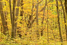 NWB-9028: Fall color at Big Woods St. Pk.