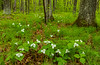 Large-flowered Trillium in forest