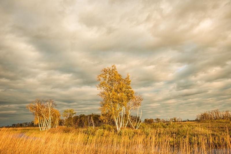 Yellow Birches in Wetland