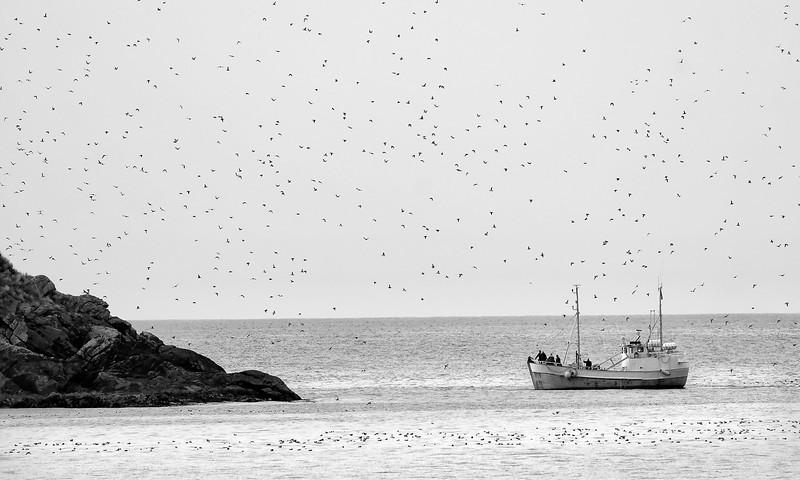 Got birds? Flocks of puffins off the bird island of Bleik