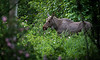 wild moose in Alaska