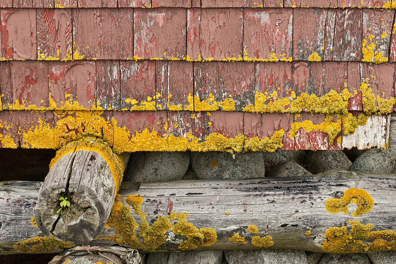 Yellow Lichens and Cedar Shakes