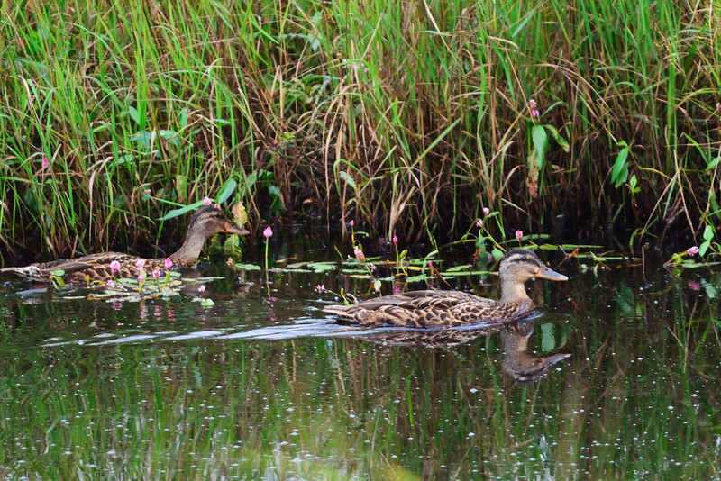 Black Ducks at the Brookfield Wetlands