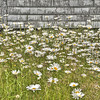 Daisies - Pleasant Bay, Cape Breton, NS